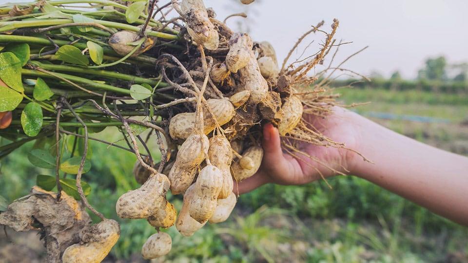 Organic Gluten-Free Peanuts